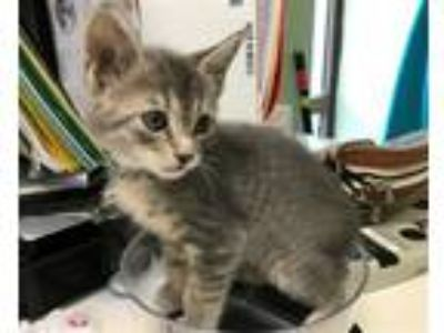 Adopt Mirage a Domestic Short Hair
