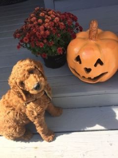 Goldendoodle PUPPY FOR SALE ADN-91798 - F1B Goldendoodles Puppies Expected end Sept 2018