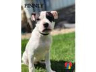 Adopt Finnly a Pit Bull Terrier