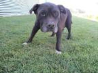 Adopt BESSIE a Staffordshire Bull Terrier / Mixed dog in Lindsay, CA (25754577)