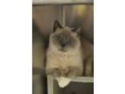 Adopt Jenny a Siamese, Domestic Short Hair