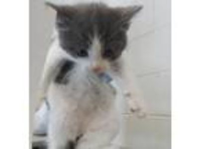 Adopt Gil (pronounced Jill) a Domestic Shorthair / Mixed (short coat) cat in