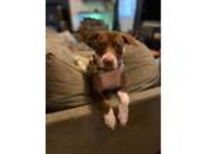 Adopt Becky a Pit Bull Terrier, Pointer