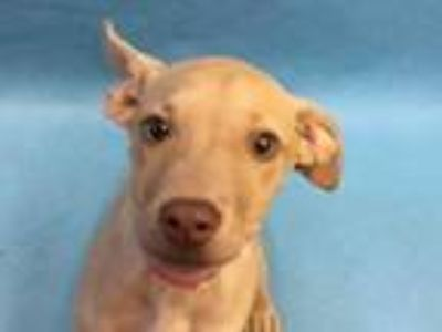 Adopt Love a Tan/Yellow/Fawn Terrier (Unknown Type, Small) / Mixed dog in Coon