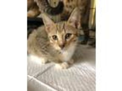Adopt Amy a Brown Tabby Domestic Shorthair (short coat) cat in Yaphank