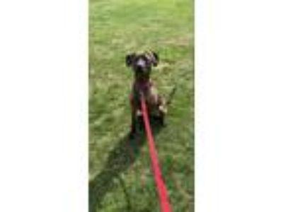 Adopt Reese a Chocolate Labrador Retriever