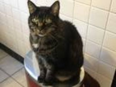 Adopt Smoky a Brown Tabby American Shorthair cat in Webster Groves