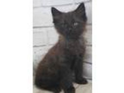 Adopt Cocoa a All Black Domestic Mediumhair / Domestic Shorthair / Mixed cat in