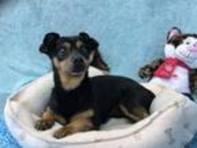 Adopt Howard a Terrier (Unknown Type, Small) / Mixed dog in Lemoore