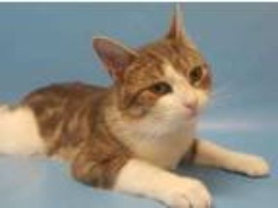 Adopt Benny a Gray or Blue Domestic Shorthair / Mixed cat in Golden Valley