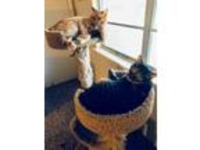 Adopt Mittens a Orange or Red Tabby Domestic Shorthair / Mixed cat in Denton