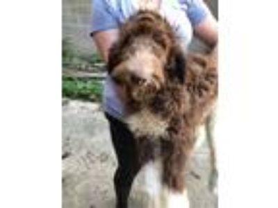 Adopt Diamond a Brown/Chocolate Newfoundland / Poodle (Standard) dog in