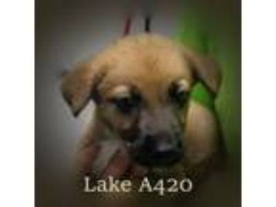 Adopt Lake a German Shepherd Dog, Labrador Retriever