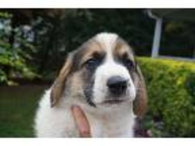 Adopt Levi a Tricolor (Tan/Brown & Black & White) Basset Hound / German Shepherd