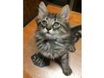 Adopt Kit Cat a Gray, Blue or Silver Tabby Maine Coon cat in Kennesaw