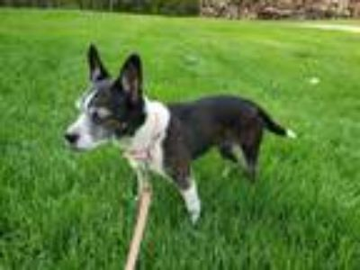 Adopt Mezzi a Boston Terrier