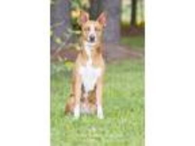 Adopt Roxy a Red/Golden/Orange/Chestnut - with White Basenji / Mixed dog in