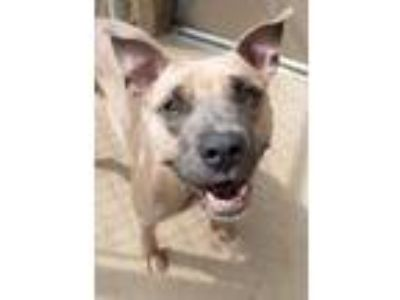 Adopt Callie a Tan/Yellow/Fawn Terrier (Unknown Type, Small) / American Pit Bull