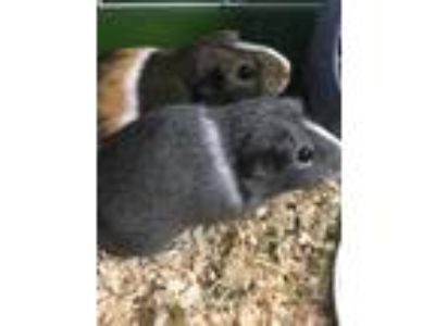 Adopt Candy Pop a Silver or Gray Guinea Pig / Guinea Pig / Mixed small animal in
