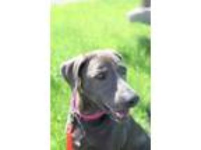 Adopt Blu a Gray/Blue/Silver/Salt & Pepper Weimaraner / Labrador Retriever /