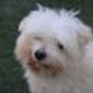 Coco Maltese Dog