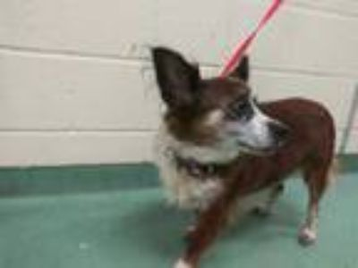 Adopt WALLY #10 a Brown/Chocolate - with White Mixed Breed (Medium) / Mixed dog
