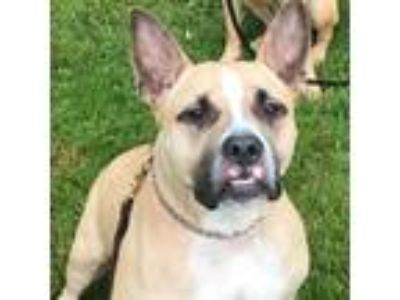 Adopt Ashby a Tan/Yellow/Fawn Boxer / Mixed Breed (Medium) dog in Glen Cove