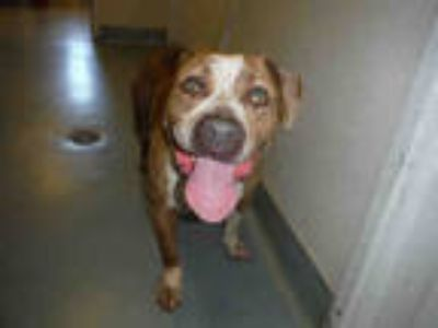Adopt ELI a Brindle - with White American Pit Bull Terrier / Mixed dog in