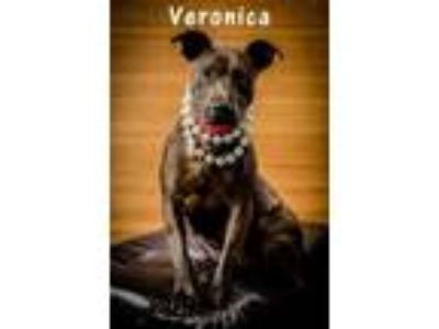 Adopt Veronica a Brown/Chocolate Mixed Breed (Large) / American Pit Bull Terrier