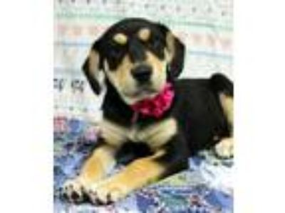 Adopt Electra a Black Australian Shepherd / Hound (Unknown Type) / Mixed dog in