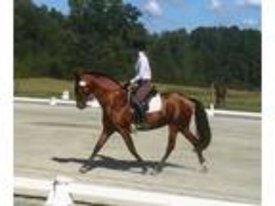 Flashy Bay Lusitano Mare Dressage Training Proven Broodmare