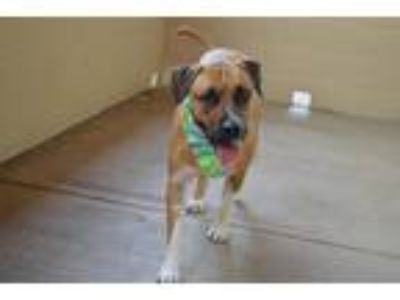 Adopt Canoe a Tricolor (Tan/Brown & Black & White) Mastiff / Mixed dog in