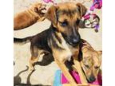 Adopt AXEL a Labrador Retriever, German Shepherd Dog