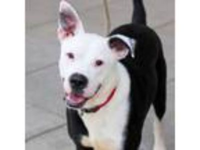 Adopt Juice a Pit Bull Terrier, Mixed Breed