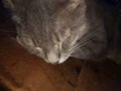 Adopt charlie a Gray or Blue (Mostly) American Shorthair / Mixed cat in Winston