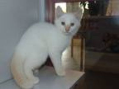 Adopt Teddy a Siamese, Domestic Short Hair