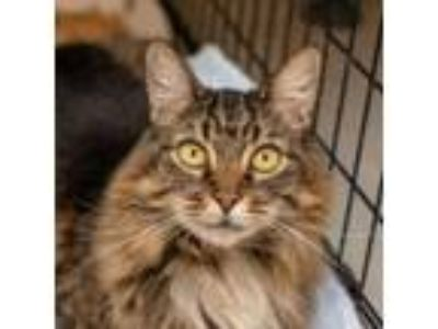 Adopt Fjord a Norwegian Forest Cat, Domestic Short Hair