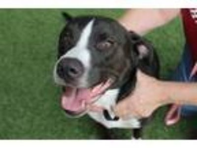 Adopt Bigfoot a Pit Bull Terrier