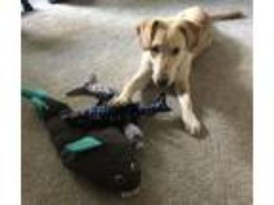 Adopt Thunder a Yellow Labrador Retriever