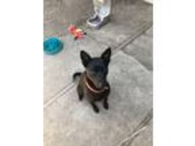 Adopt Captain a Black Shepherd (Unknown Type) / Mixed dog in Concord