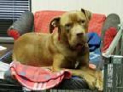 Adopt Merry a Pit Bull Terrier