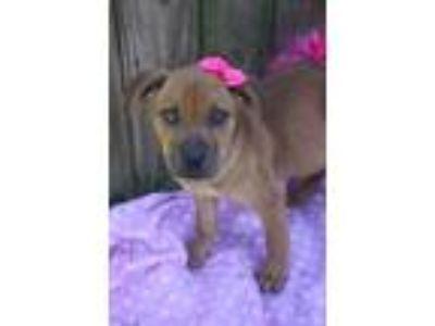Adopt Looking for Foster Homes a Labrador Retriever