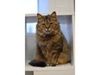 Adopt Feather a Domestic Long Hair