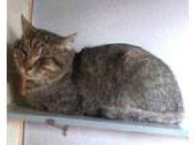 Adopt Forrest a Gray or Blue Domestic Shorthair / Domestic Shorthair / Mixed cat