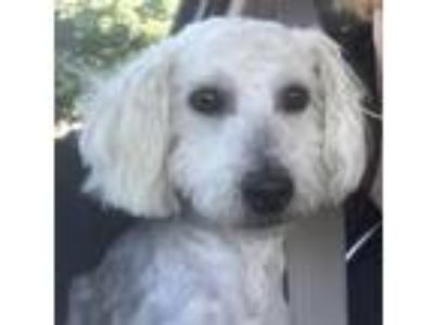 Adopt Randy a White Poodle (Miniature) / Mixed dog in Costa Mesa, CA (25838983)