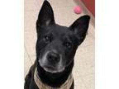 Adopt Mr. Bojangles a Black Shepherd (Unknown Type) / Mixed dog in Grayslake