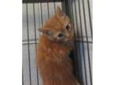 Adopt Naveen a Orange or Red Domestic Shorthair / Domestic Shorthair / Mixed cat