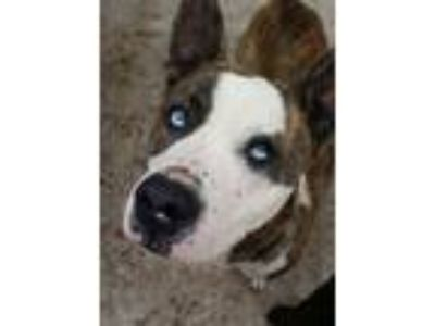 Adopt Midas a Pit Bull Terrier, Cattle Dog