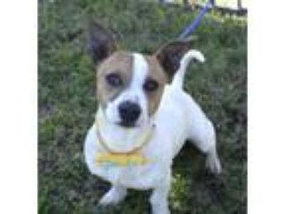 Adopt Frankie a Jack Russell Terrier, Beagle