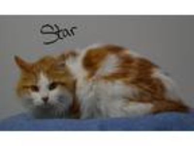 Adopt Star a Orange or Red (Mostly) Domestic Longhair (long coat) cat in